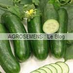 Concombre bio culture associée fenouil - semences bio Agrosemens