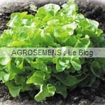 salade bio agrosemens semis