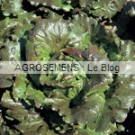 laitue semences bio - agrosemens