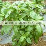 Aromatiques-Basiliques Agrosemens bio