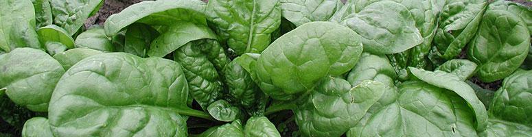 épinards bio guide de culture, semences bio agrosemens
