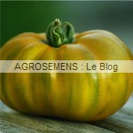 evergreen - semences tomates bio - AGROSEMENS