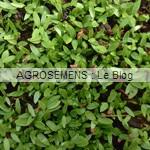 Persil bio, aromatique semences agrosemens