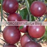 black Cherry - semences tomates bio - AGROSEMENS