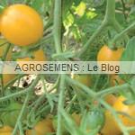 clementine - semences tomates bio - AGROSEMENS
