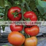 fiorentino - semences tomates bio - AGROSEMENS