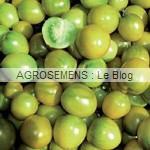 green Grape - semences tomates bio - AGROSEMENS