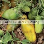 semences tomates bio - AGROSEMENS