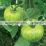 green Zebra - semences tomates bio - AGROSEMENS