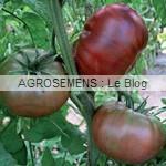 noire Crimmee - semences tomates bio - AGROSEMENS