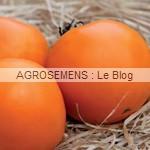 orange Queen - semences tomates bio - AGROSEMENS
