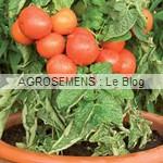 semences tomates bio - maraicher - AGROSEMENS