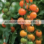 toronjina - semences tomates bio - AGROSEMENS