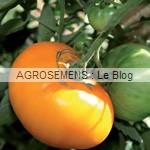 Yellow brandywine - semences tomates bio - AGROSEMENS