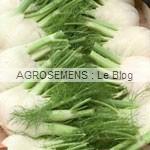 fenouil bio orion - semences bio maraîcher AGROSEMENS