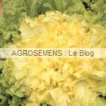 chicorée scarole - semences maraîchères AGROSEMENS