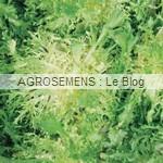 Bubikopf 3 chicorée scarole - semences maraîchères AGROSEMENS