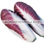 Fiero Chicorée rouge - semences maraîchères bio AGROSEMENS