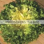 Fine de Meaux - chicorée frisée bio - semences maraîchères AGROSEMENS