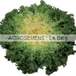 Myrna - chicorée frisée bio - semences maraîchères AGROSEMENS