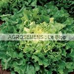 Nuance chicorée scarole - semences maraîchères AGROSEMENS