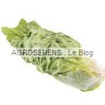 Pain de sucre Chicorée rouge - semences maraîchères bio AGROSEMENS