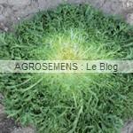 Primafine - chicorée frisée bio - semences maraîchères AGROSEMENS