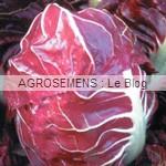 Rouge de Verone Chicorée rouge - semences maraîchères bio AGROSEMENS
