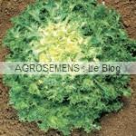Grosse pancalière frisée - chicorée frisée bio - semences maraîchères AGROSEMENS