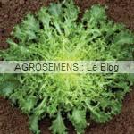 grosse Pommant seule - chicorée frisée bio - semences maraîchères AGROSEMENS