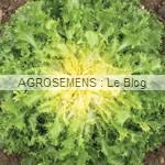 matari - chicorée frisée bio - semences maraîchères AGROSEMENS