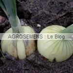 oignon bio semences maraicheres AGROSEMENS