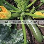courgette bio semences maraicheres AGROSEMENS