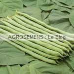 Neckarkönigin haricot à rames bio - semences AGROSEMENS