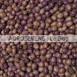 Coco de la Meuse haricot à rames bio - semences AGROSEMENS