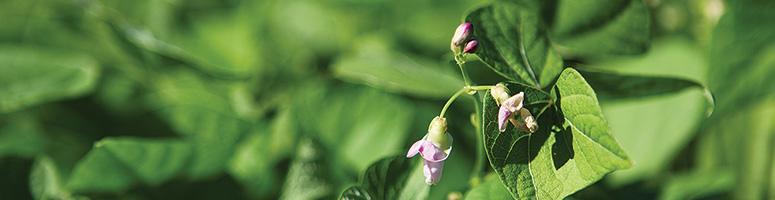 haricot bio semence AGROSEMENS