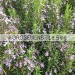 romarin bio semences AGROSEMENS