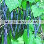 Blauhilde haricot à rames bio - semences AGROSEMENS