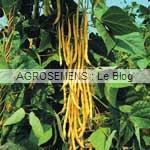 Neckargold haricots à rames bio - semences AGROSEMENS