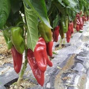 élevage de semences de piment bio - AGROSEMENS