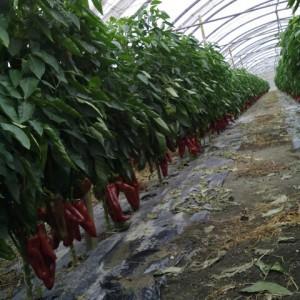piment -élevage de graines bio-AGROSEMENS