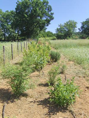 haie ferme du Petit Sambuc à Aix en Provence AGROSEMENS