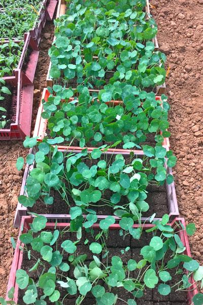 plantsCapucine-1