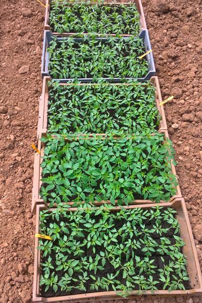 plantsTomate-1