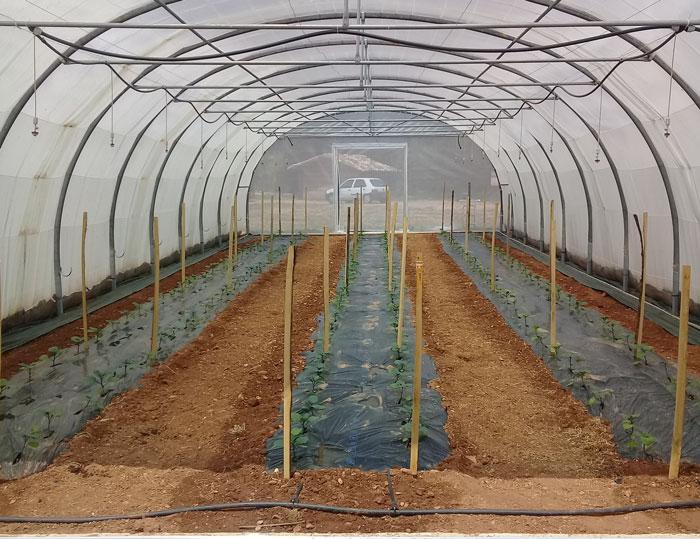serre d'aubergine bio - ferme semencière AGROSEMENS