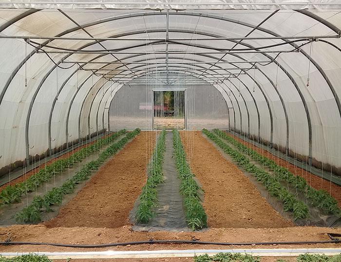 serre de tomate bio - ferme semencière AGROSEMENS