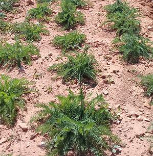 Achillé Millefeuille - ferme semencière bio AGROSEMENS