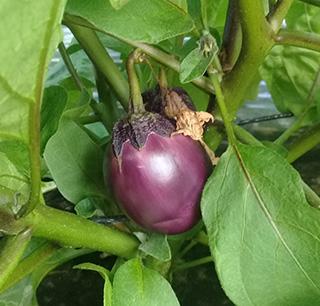 Aubergine Bambino - Semence Bio- AGROSEMENS