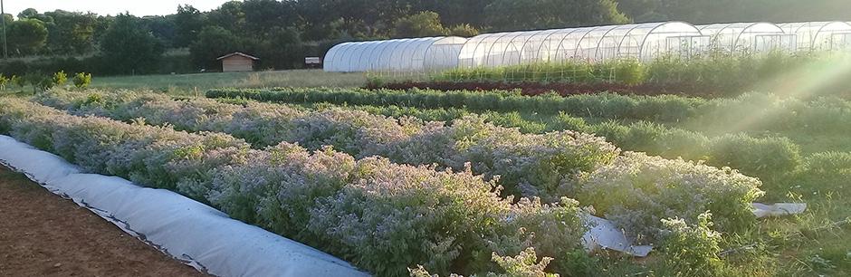 fleur de bourrache- ferme semencière bio AGROSEMENS