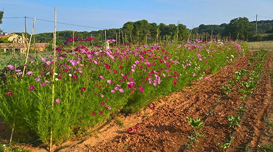 Cosmos et Rhubarbe - ferme semencière bio AGROSEMENS